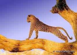 Stretching Leopard