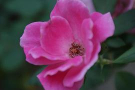 Delicate Pink 2 by Rachel