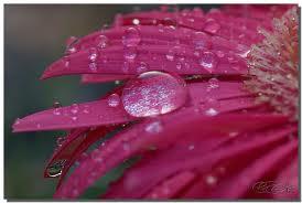 Dew on a Gerber