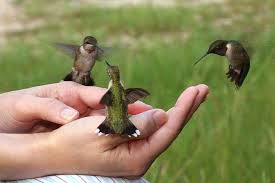 Hummingbirds and Hands